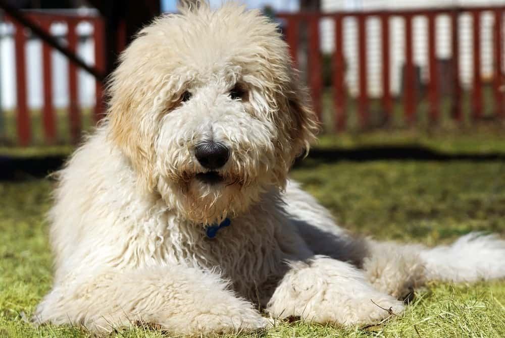 Goldendoodle Weight Chart