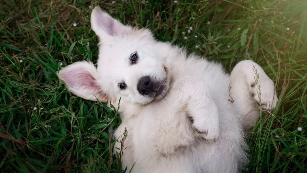 Great Pyrenees Puppy Shedding
