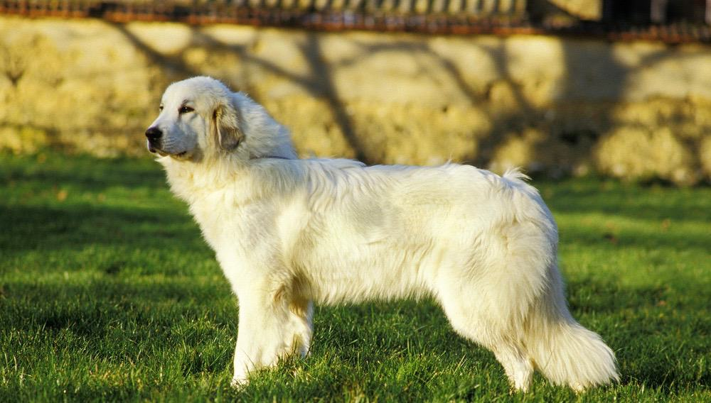 Great Pyrenees Shedding Frequency