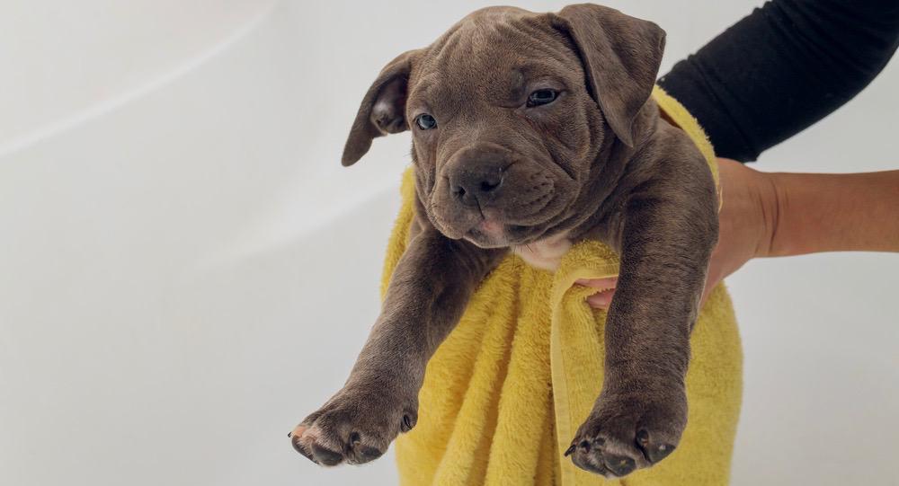 Do Pitbulls Shed | Pitbull Shedding (Adults & Puppies)