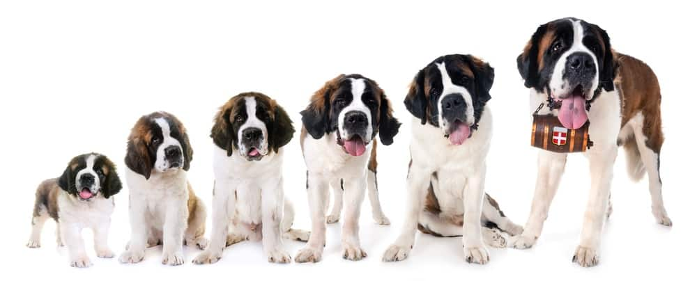Saint_Bernard_Grow