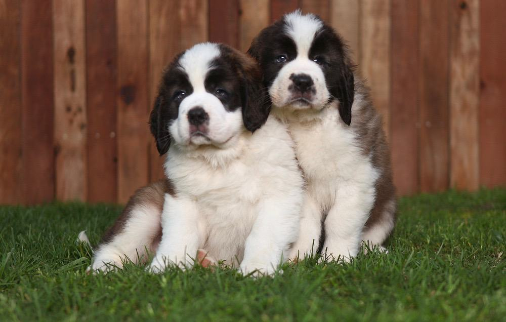 Saint Bernard Growth Chart