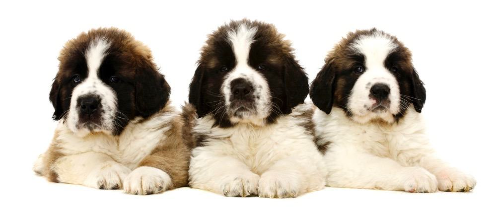 Saint Bernard Puppy Weight Chart