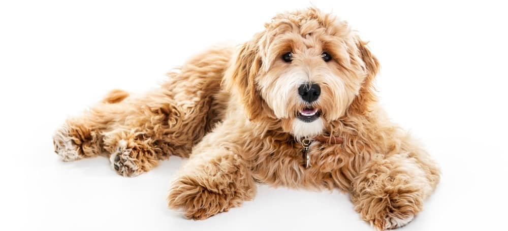 When Is A Goldendoodle Full Grown