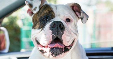 American Bulldog Life Expectancy