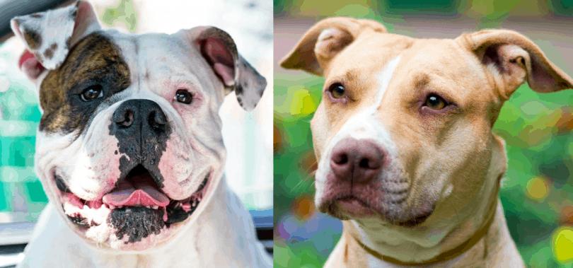 American Bulldog Vs American Pit Bull