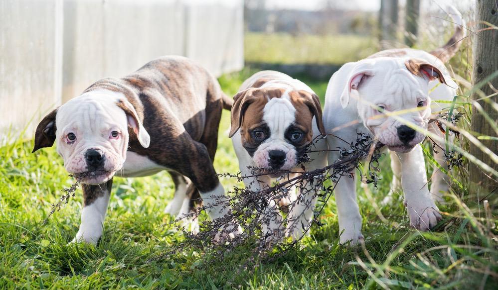 American Bulldogs Temperament
