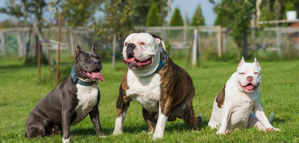 American_Bullies_vs_American_Bulldogs