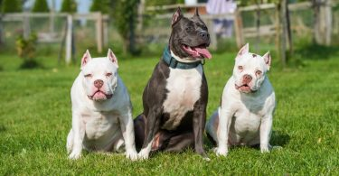 American Bully Lifespan
