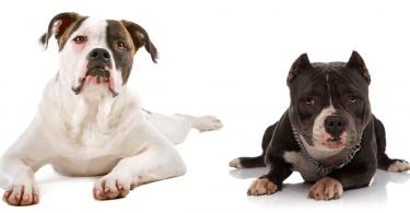 American Bully vs American Bulldogs