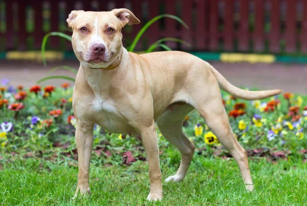 American Pitbull Terrier Lifespan