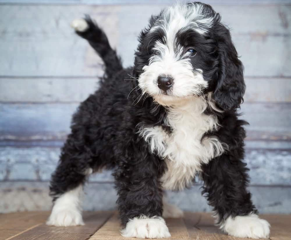 Bernedoodle Growth Chart