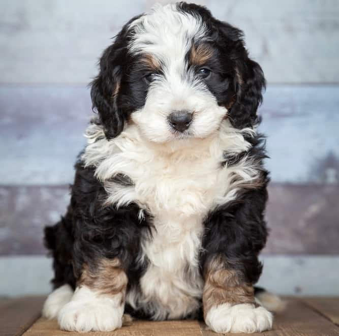 Bernedoodle Puppy Growth Chart