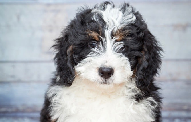 Bernedoodle Weight Chart
