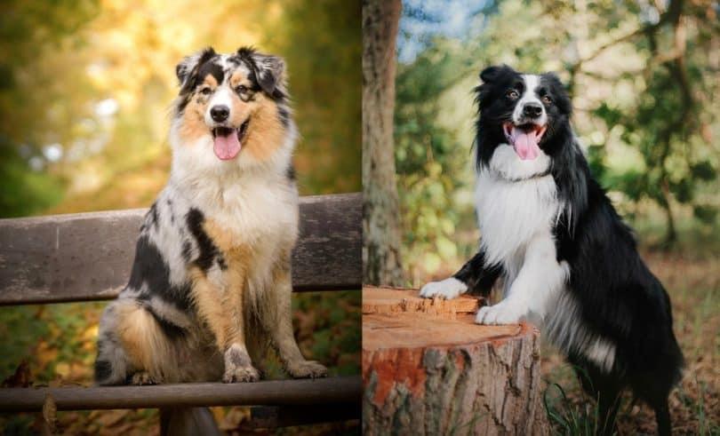 Border Collie vs Australian Shepherd