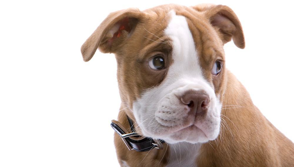 Boxer Ear Cropping Age