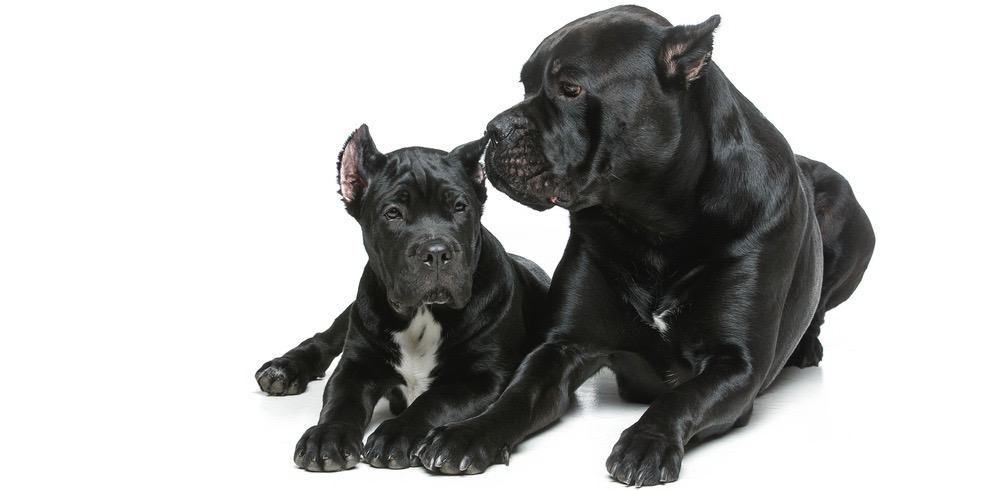 Cane Corso Ear Cleaning