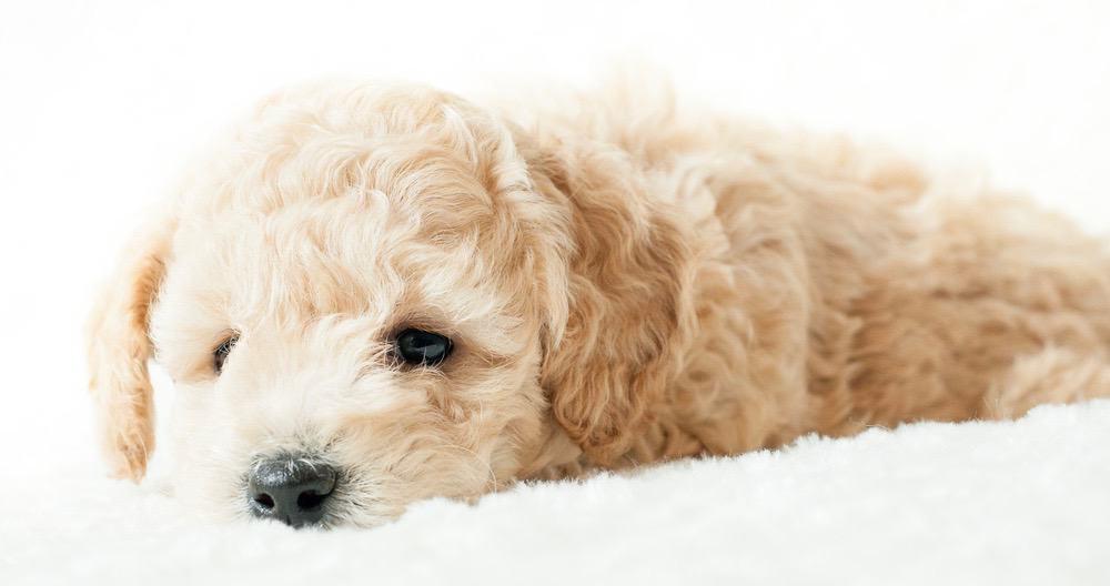 Cavapoo Puppy Weight Chart