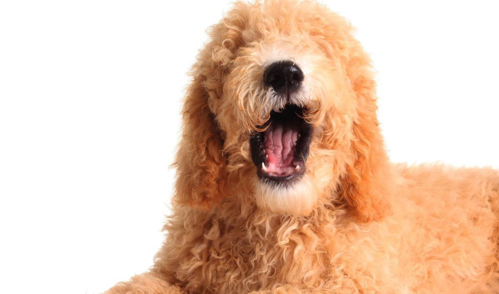 Differences F1 vs F1B Goldendoodles