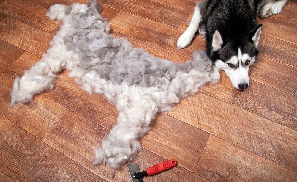 Do Huskies Shed