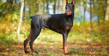 Doberman Lifespan