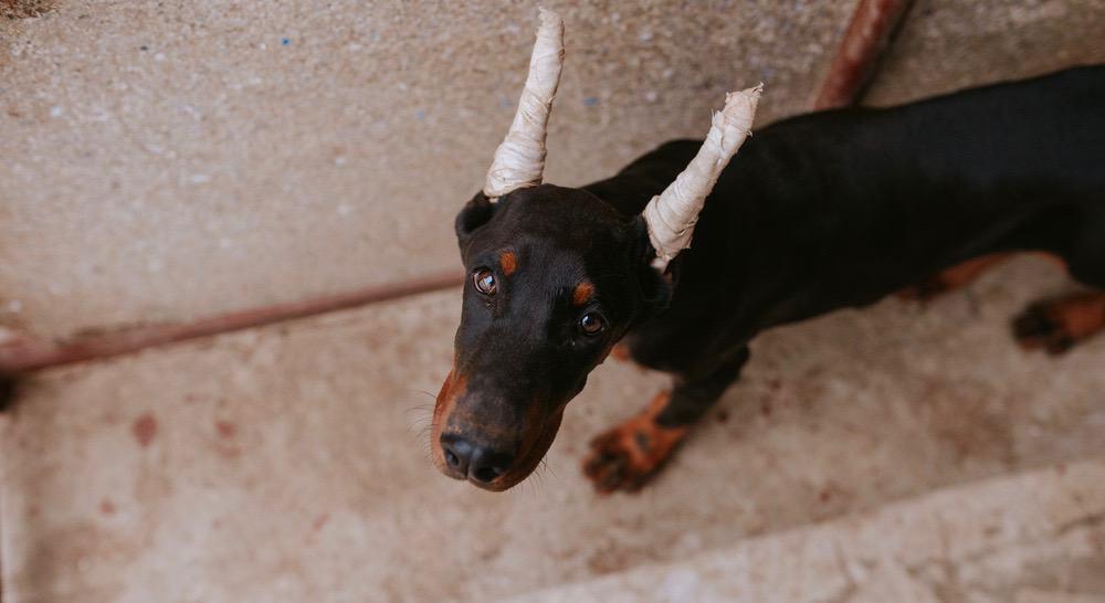 Doberman Puppy Ear Cropping