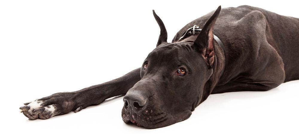 Great Dane Puppy Ear Cropping