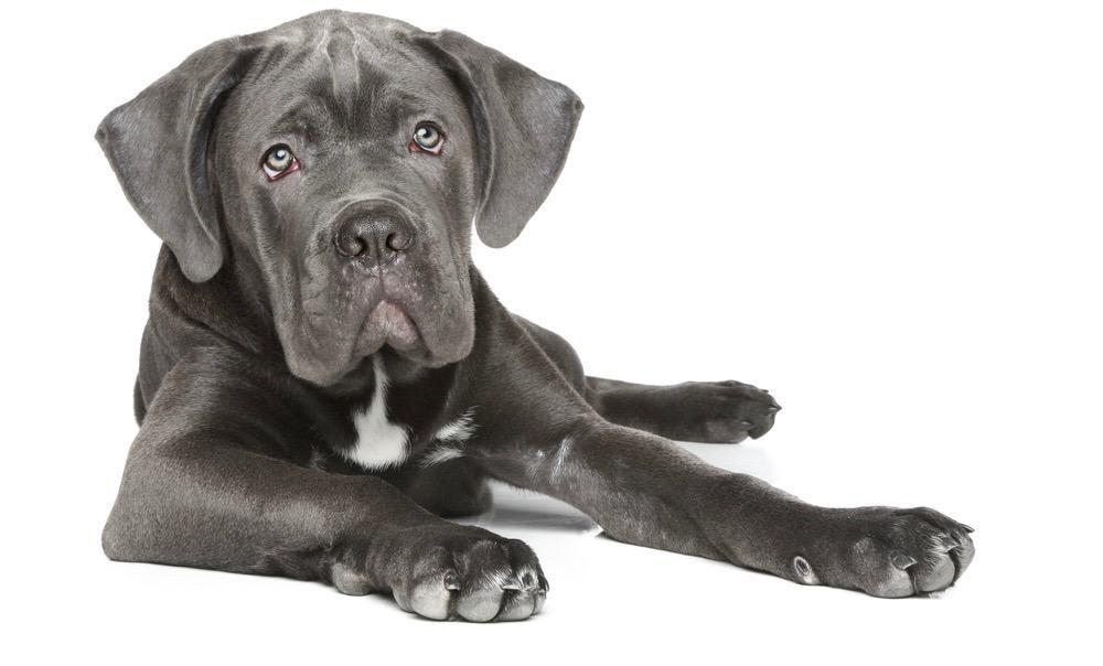 Great Dane Puppy Ears Cropping