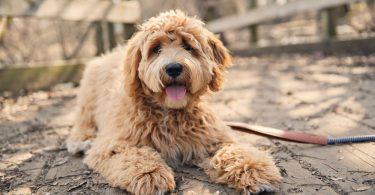 How Much to Feed A Labradoodle Puppy