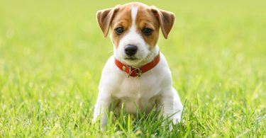 Jack Russell Growth Chart