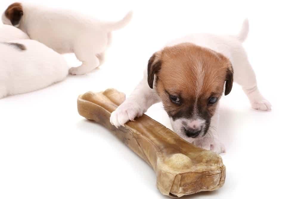 Jack Russell Puppy Development