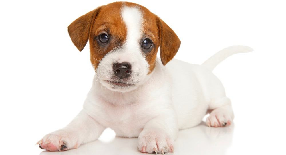 Jack Russell Puppy Weight Chart
