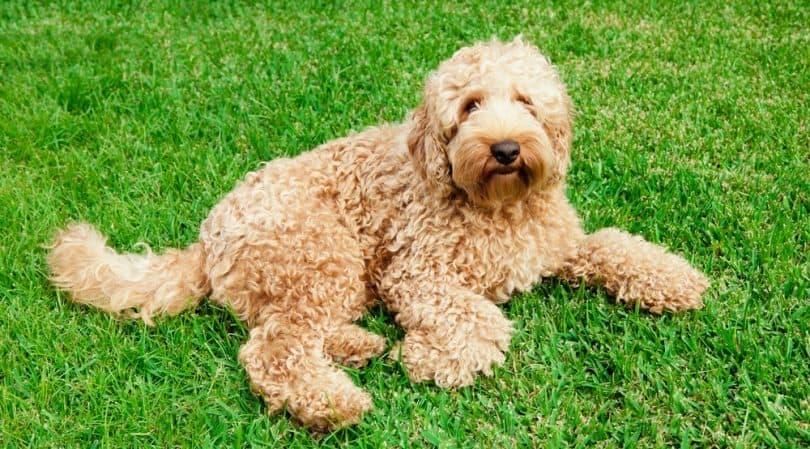 Labradoodle Growth Chart