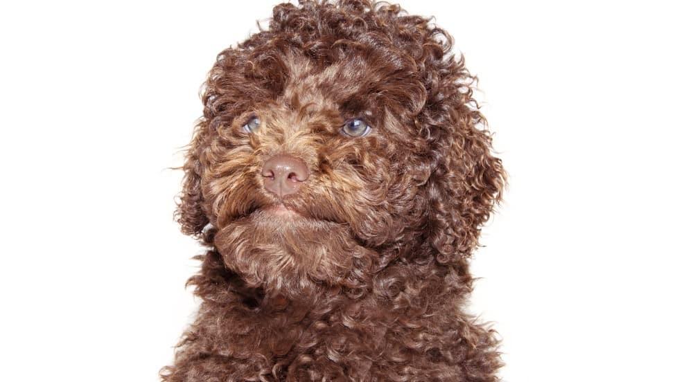 Labradoodle Puppy Development