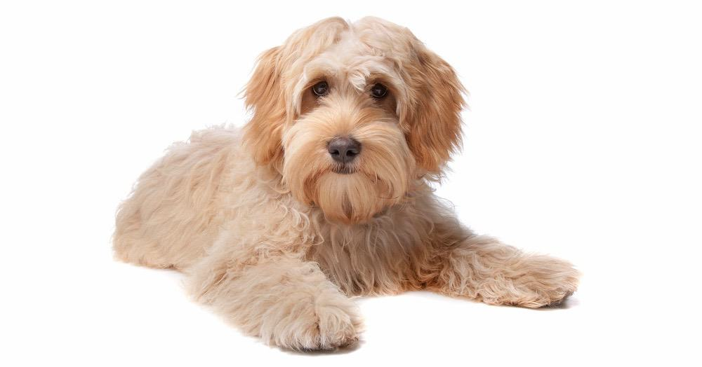 Labradoodle Puppy Weight Chart