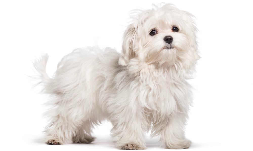 Maltese Shedding Frequency