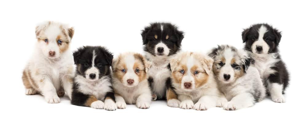 Medium Breed Puppy Weight Chart