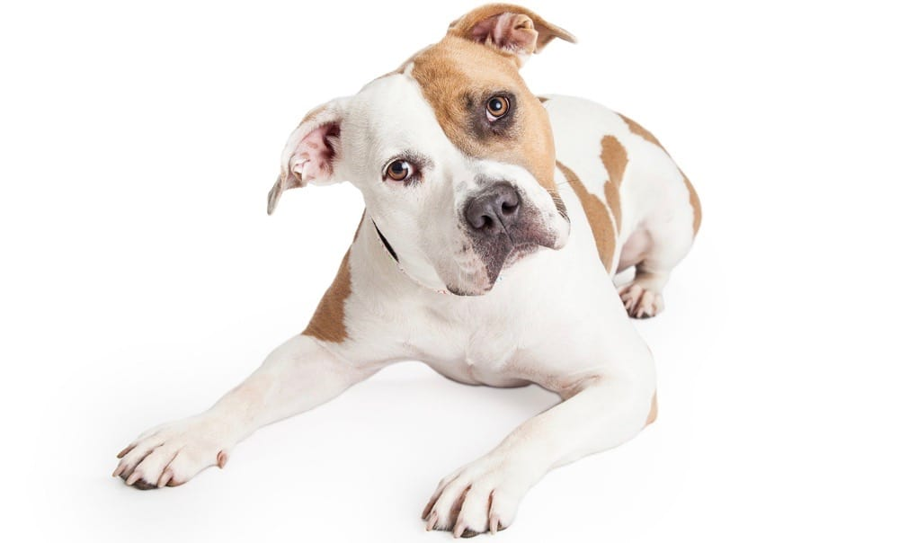 Pit Bull Ear Cropping
