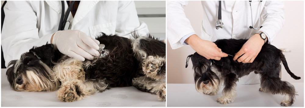 Schnauzer Ear Cropping Afercare