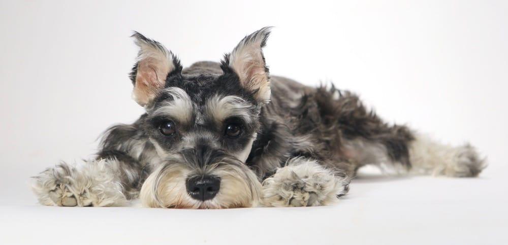 Schnauzer Ear Cropping Puppy