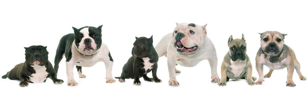 American Bully Weight Chart