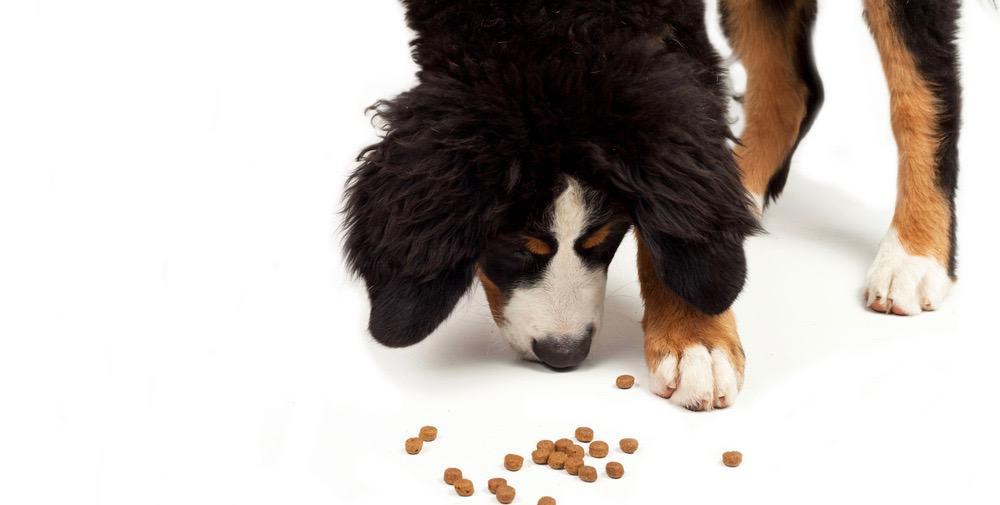 Bernese Puppy Food