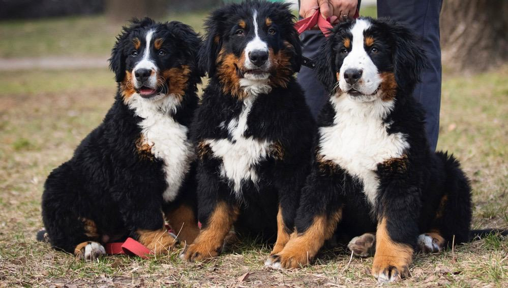 Best Food For Bernese Mountain Dog