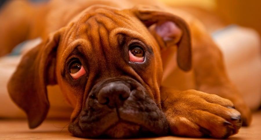 Boxer Puppy Sensitive Stomach