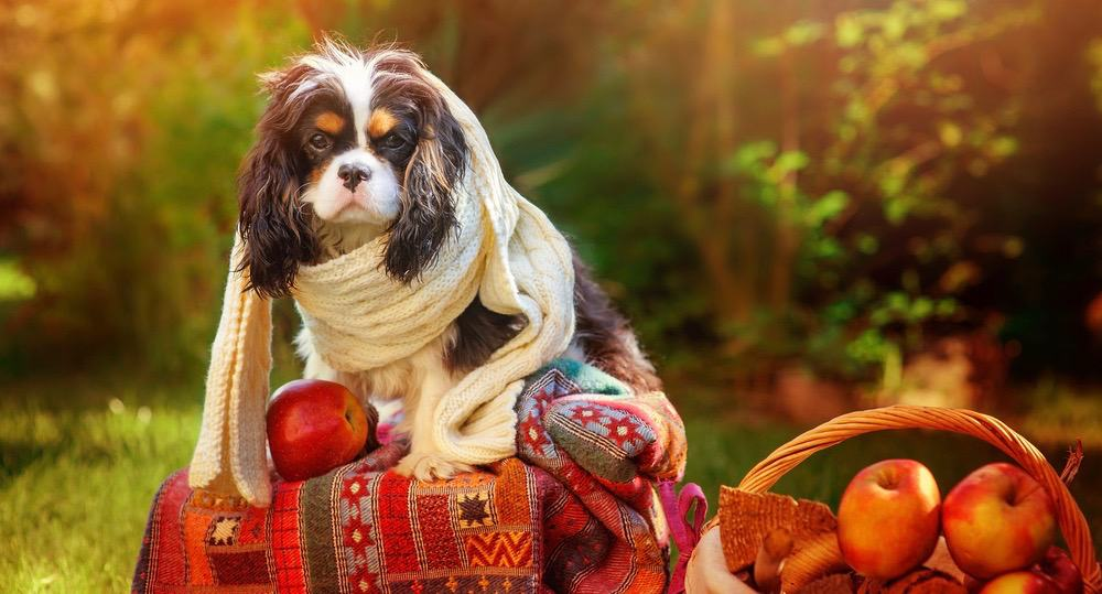 Cavalier King Charles Spaniel Puppy Development