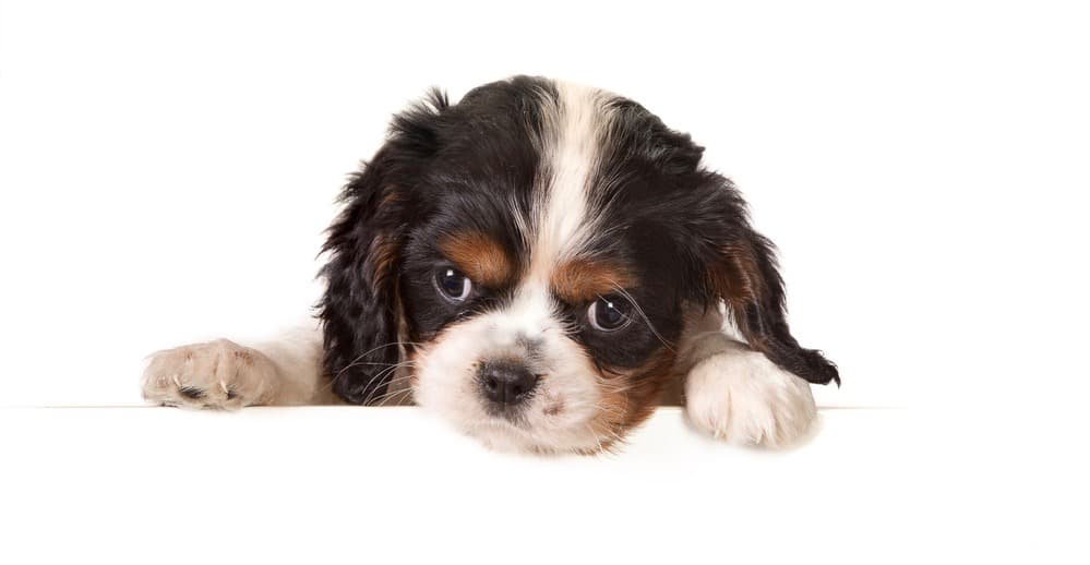 Cavalier King Charles Spaniel Puppy Weight Chart