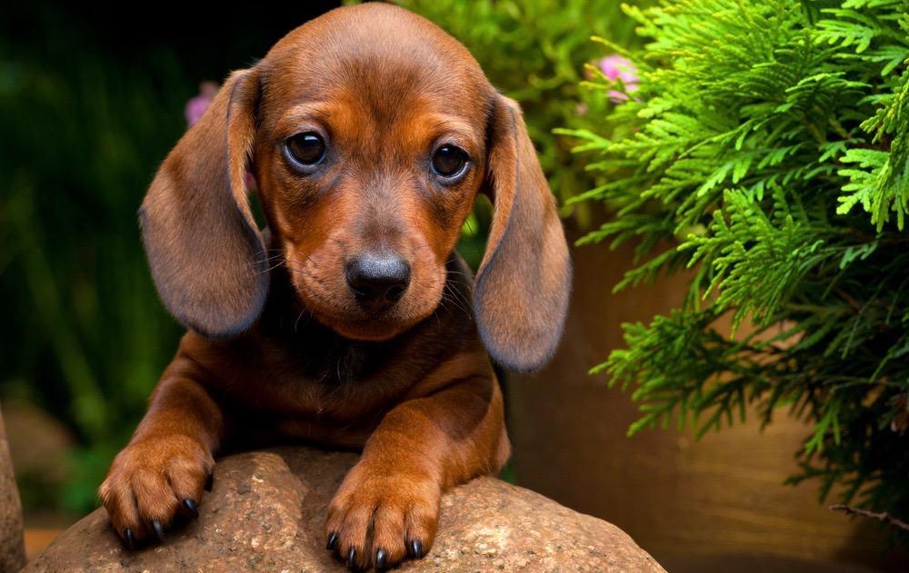 Dachshund Puppy Food