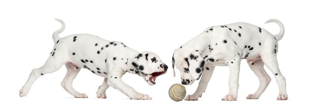 Dalmatian Exercise