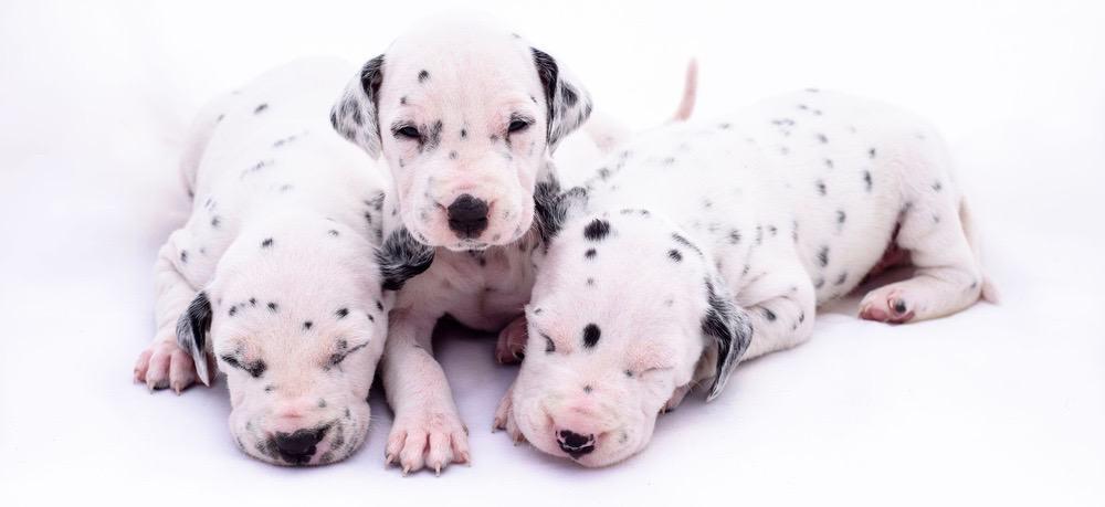Dalmatian Puppy Weight Chart
