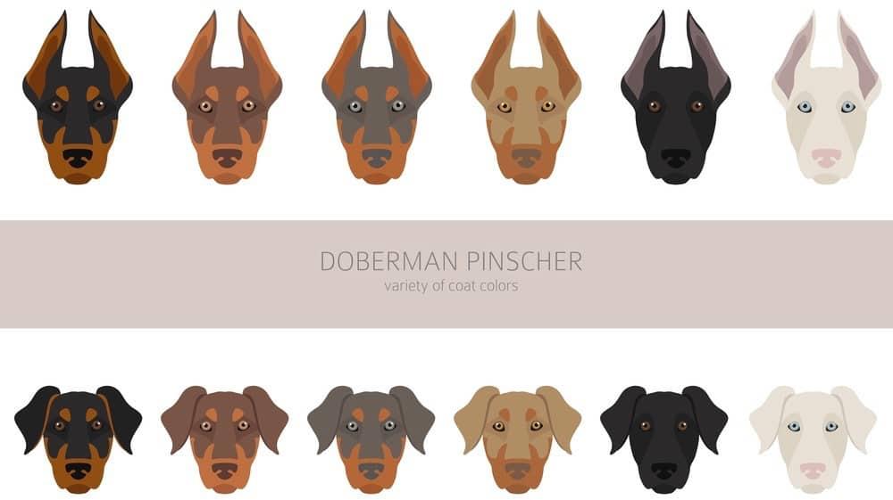 Doberman Color Coats